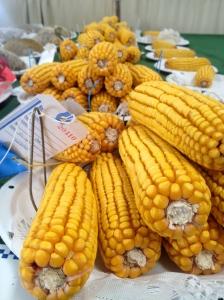 Prize Winning Corn